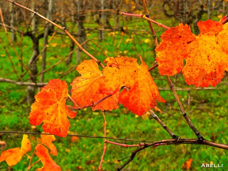 autunno oltrepo pavese vigneti foglie